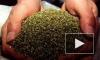 Два наркодельца выращивали в петербургской квартире гигантскую плантацию марихуаны