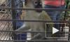 Раскрыта тайна исчезновения зеленой мартышки из зоопарка Воронежа