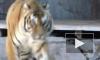 Тигрица Герда начала приходить в себя после наркоза