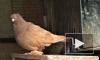 По осени считают: в Петербурге проводят инвентаризацию голубятен