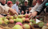В Петербурге на Яблочный Спас всех желающих угостят освященными яблоками