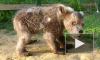 Затравленный людьми медвежонок Сеня дослужился до завхоза