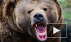 Забавное ДТП: медведь vs иномарка