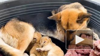 В Приморье немецкая овчарка выкармливает двух львят