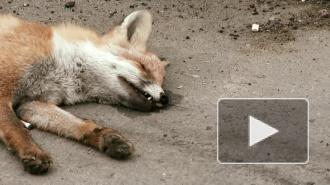 Мертвая лиса перепугала петербуржцев